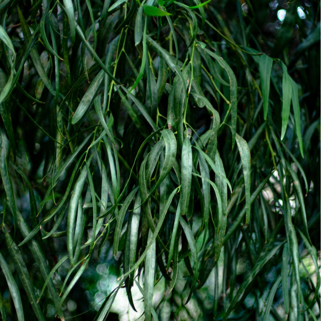 agonisflexuosatree